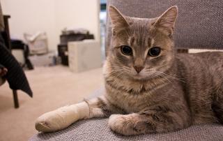 Cat with bandage leg
