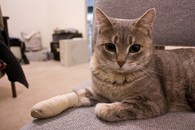 Cat with bandage leg